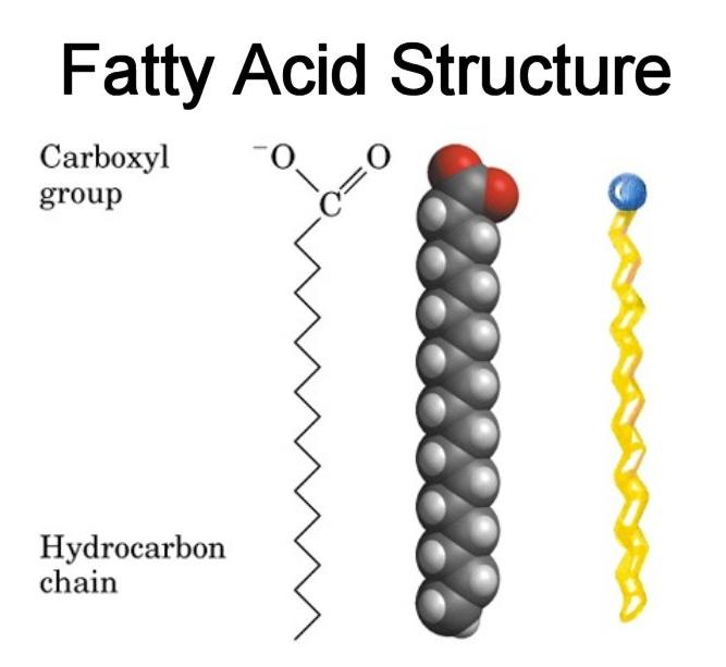 what does a fatty acid molecule look like yahoo answers